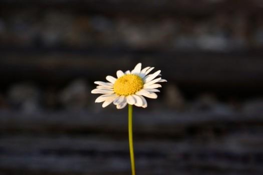 single-daisy-flower