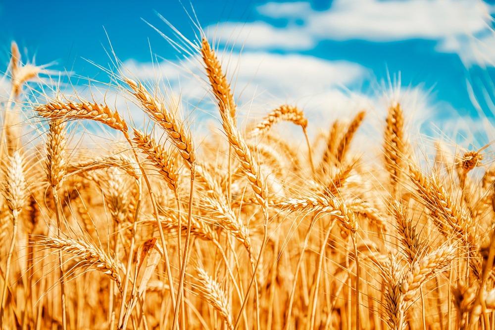 wheat3